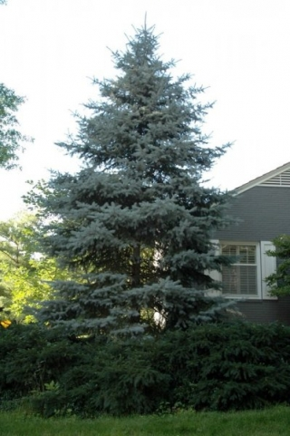 Select Blue Spruce