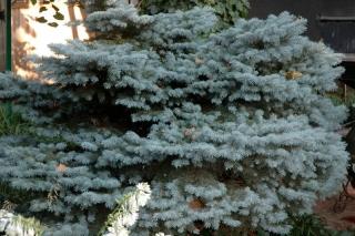 Dwarf Blue Spruce