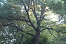 Large Red Oak Tree